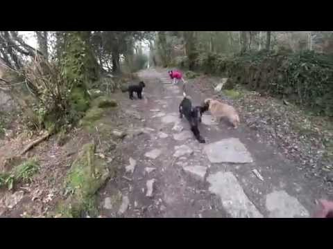 Group dog walk in the woods