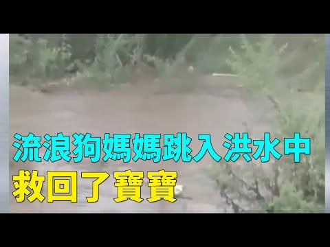 母狗跳入洪水中救回宝宝 网友:共产党应该向这只狗学习!(图/视频)
