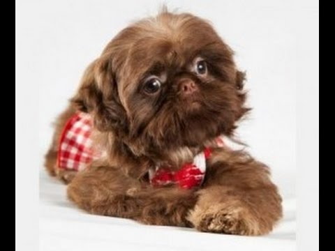 Adult Male And Female Imperial Shih Tzu At Play 8lbs Chocolate Youtube