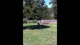 Weimaraner Encounter With An Opossum