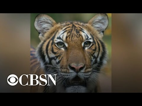 Tiger tests positive for COVID-19 at NYC zoo