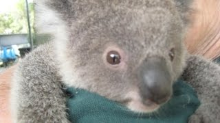 Животные Австралии. Ах, эти милашки Коала!  (Koala. Western Australia)