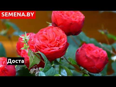 Где купить саженцы роз в Беларуси по отличным ценам?