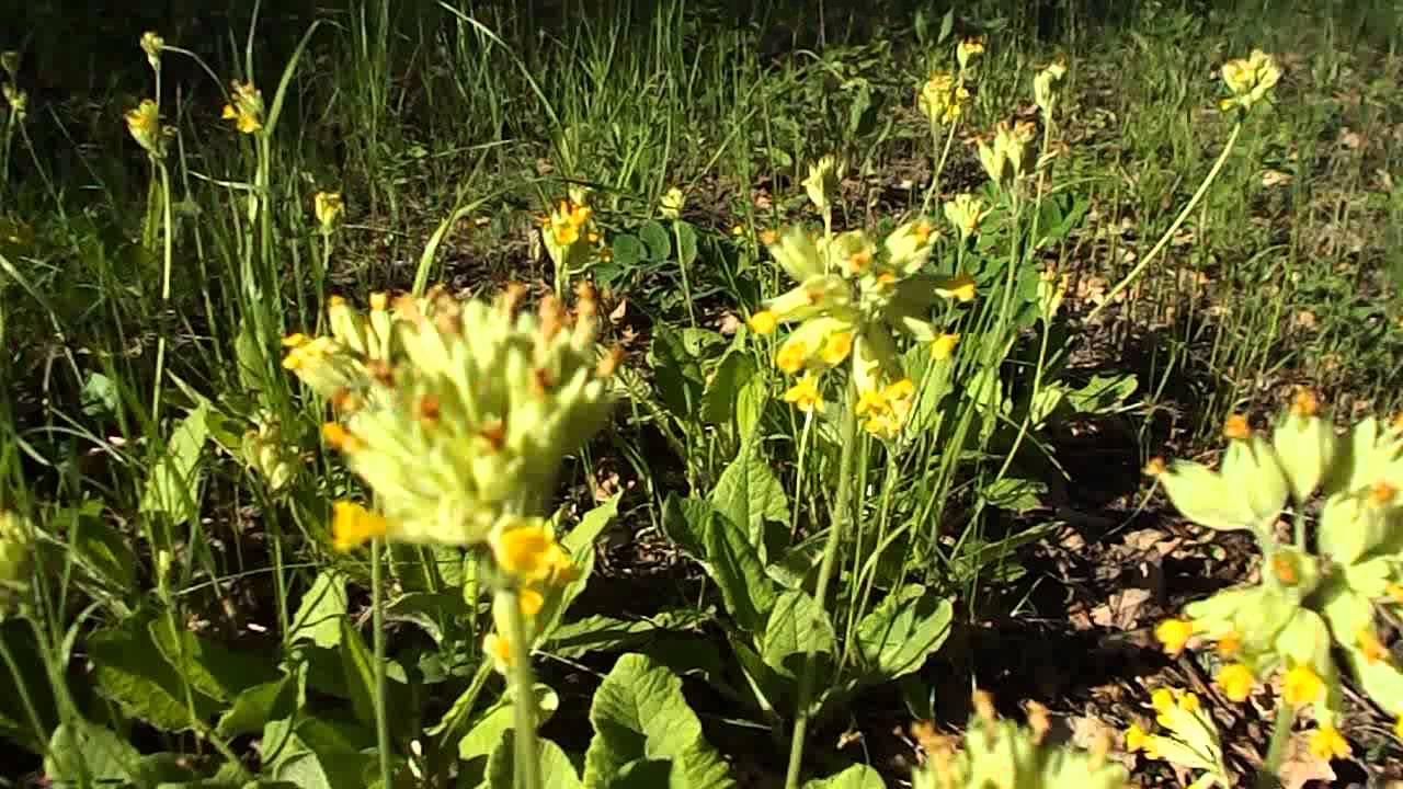 саранка фото цветок