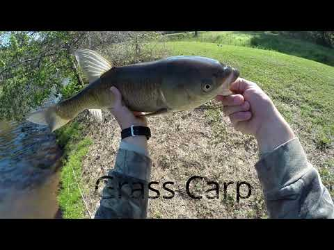 Fly Fishing For Grass Carp Ep23