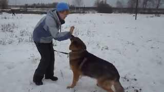 Буш.Собака в добрые руки. Немецкая овчарка