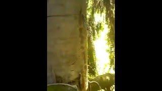 Как поймать рой! Поимка бродячего  пчелиного роя