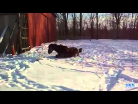 Horses Playing In Snow Compilation     CFS | Funny Horse