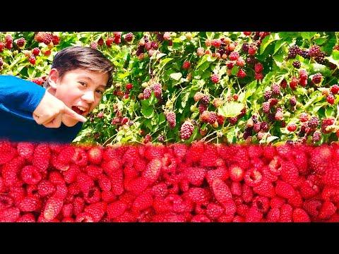 Picking Raspberries And Blackberries | Love This Berry Farm!!!