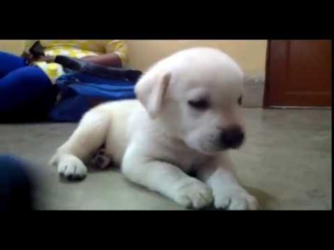 cute labrador snowball puppy first day home