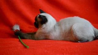 Котята для Вас! Чистокровная шотландская котенок-девочка сил-поинт окраса.