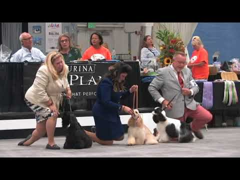 The 2018 ASC Cocker Spaniel National Specialty Futurity