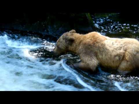ALASKA - Grizzly Bear Catching Salmon