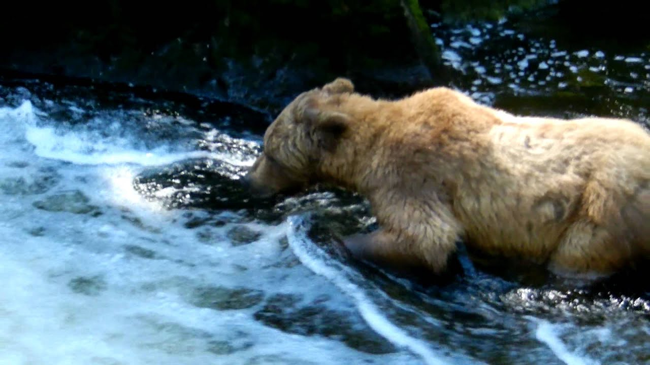 Alaska grizzly bear catching salmon youtube for Bear catching fish