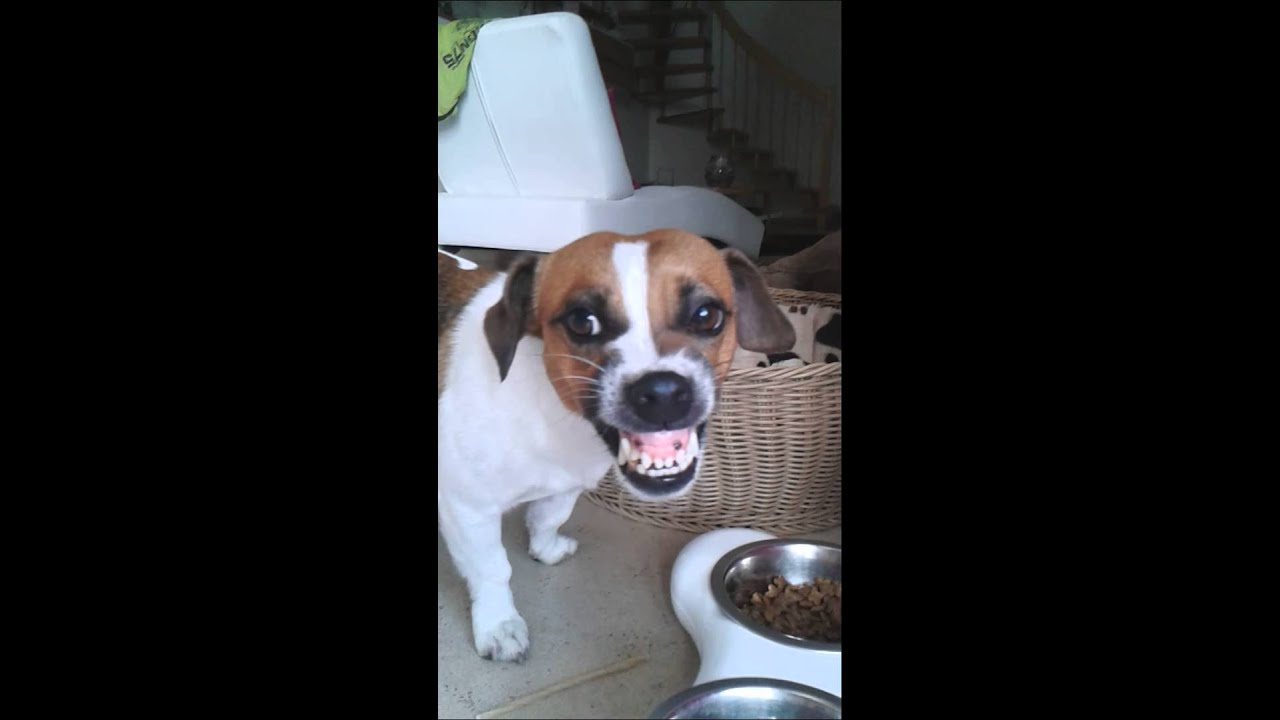 STITCH Angry Jack Russel YouTube
