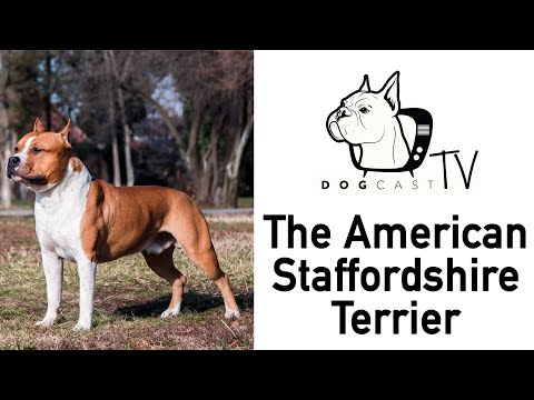 Amstaff - The American Staffordshire Terrier dog breed