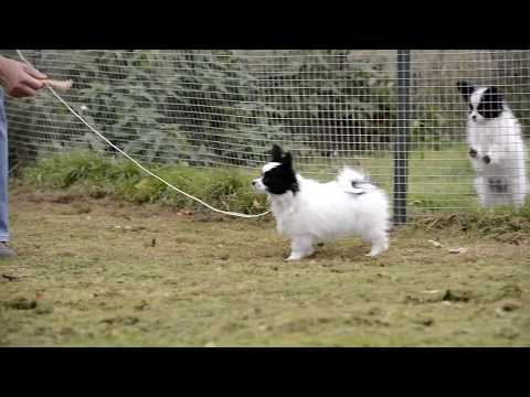 Cute Papillon puppy leash training