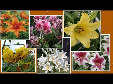 Какие бывают лилии  Группы лилий