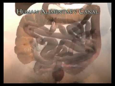 Human Alimentary Canal