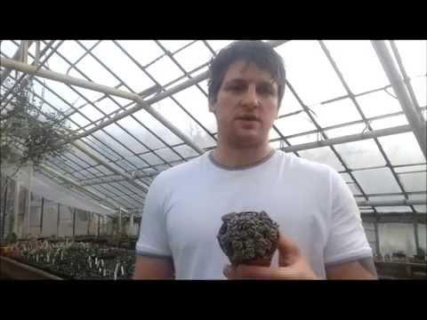 Посев семян суккулентов   Адениумов, Пахиподиумов, Баобабов, Хавортий, Алоэ, Гастерий