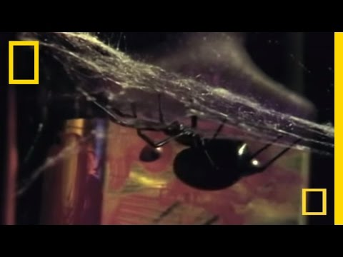 Most Venomous Spider in North America | National Geographic