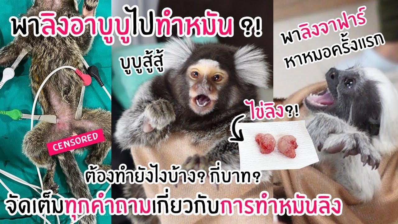 พาลิงอาบูบูไปทำหมัน ! คุณหมอตอบจัดเต็มเกี่ยวกับการทำหมันลิง !