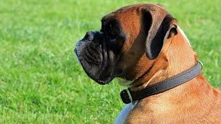 Boxer (dog Breed Information + Slideshow)
