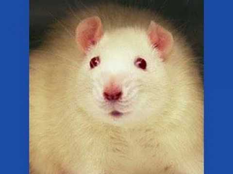 Call to Raja's Takeaway - Rat Meat Enquiry