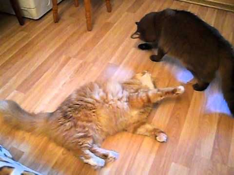 Cats play. Somali ruddy and mixed breed. Friends fight.