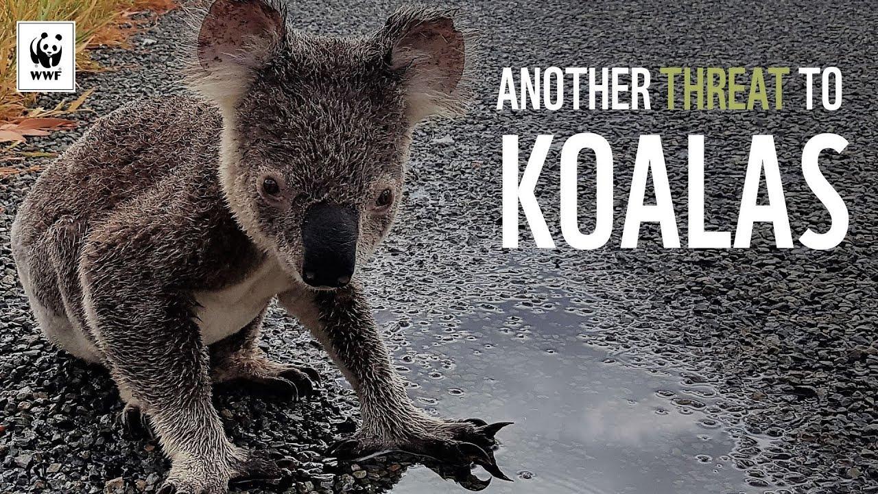 Another Threat to Koalas | WWF-Australia
