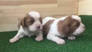 https://www.breeder-navi.jp/dog/69039 子犬販売ならブリーダーナビ ...