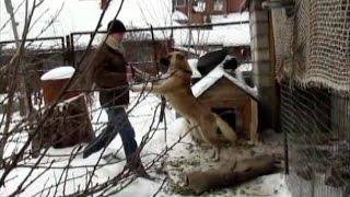 Гиперактивный метис овчарки Шерри.(Самое худшее что можно сделать с собакой-это посадить её на цепь, не давая ей развиваться как нормальной..., 2012-11-19T15:34:44.000Z)