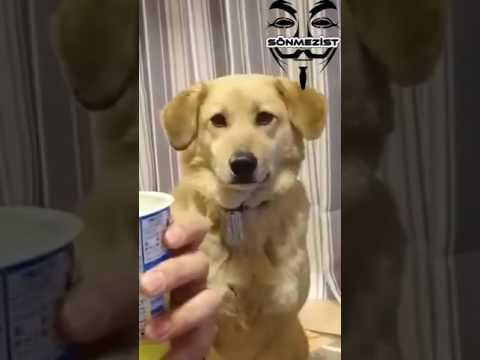 Sahibi Yemek Yerken Dikizleyen Köpek - Sönmez Reyiz Edit