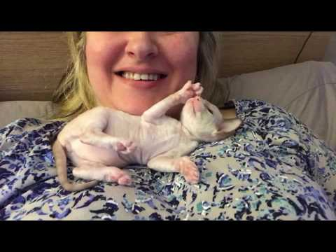 Cutest Cornish Rex kitten - 3 weeks old