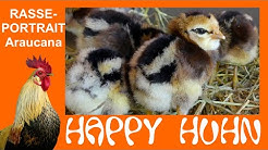 E18 Araucana Hühner im Rasseportrait - HAPPY HUHN - Schwanzlose Hühner die türkise/ grüne Eier legen