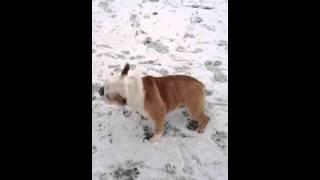 English Bulldog Enjoy The Snow