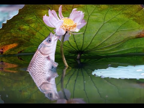Grass Carp Eating Lotus In Slow Motion