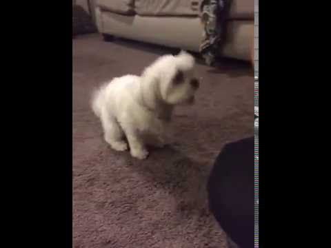 SMART DOG DOES TRICKS