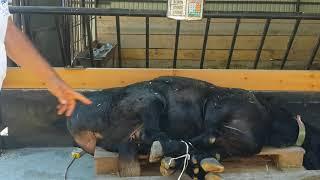 Покупка барана-производителя. Анвар Рустемов +77017224679(ватцап) Шымкент. Гиссарские бараны, овцы.
