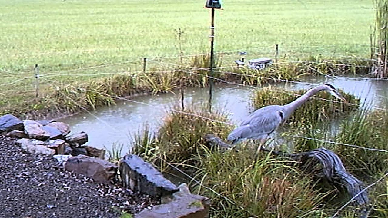 Blue Heron Tests Our Goldfish Pond Wire Deterrent System