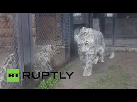 Russia: Love is in the air for these Snow Leopards