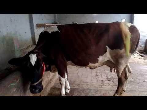 Artificial Insemination गाय के सीमन कैसे लगाएं