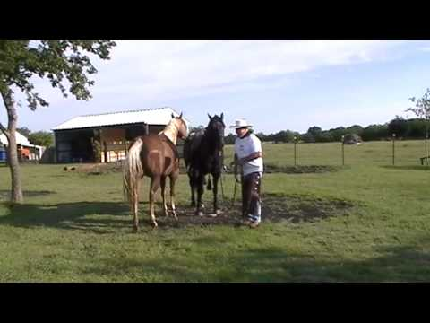 preparing-to-ride-horse-in-one-rein---rope-halter--getting-rid-of-bit--horses-feeding-off-each-other