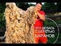 Что делать с шерстью баранов