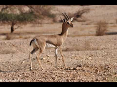 National animal of Palestine - الحيوانات الوطنية، بسبب، فلسطين