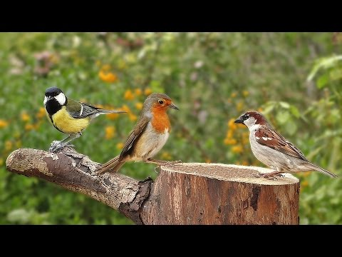 Birds Singing in The Morning : Garden Birds Video and Bird Sounds