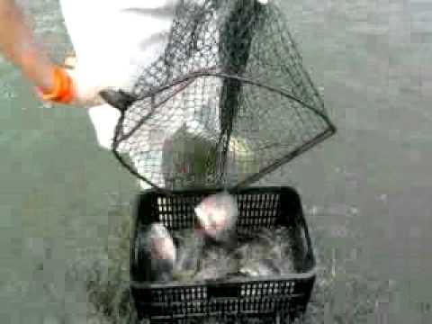 Tilapia cosecha en tanques circulares acuicultura en for Tanques circulares para acuicultura