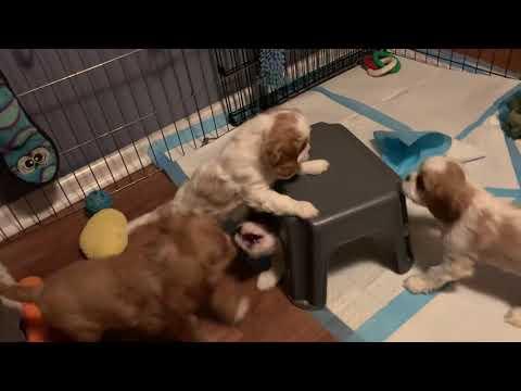 Cavalier King Charles Spaniel Puppies Battle