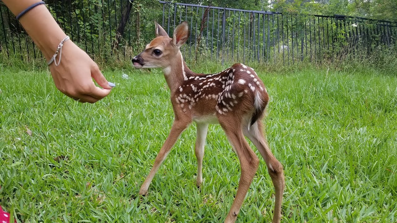 Most Funny And Cute Baby Deer Videos Compilation 2018 Youtube