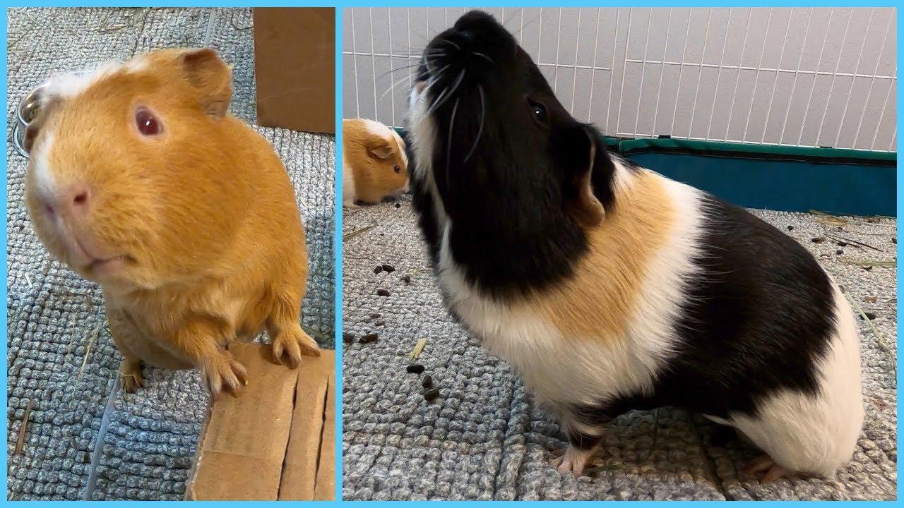 Best guinea pig noises of the wheek! (2021 Week 3)
